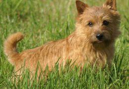Terrier Norwich