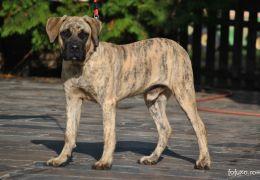Dogue Canário (Dog Canário)