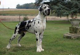 Dogue Alemão (Dog Alemão)