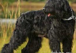 Terrier Negro Russo