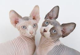 As cinco raças de gatos mais estranhas do mundo