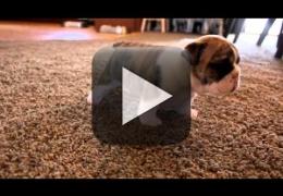 Vídeo: Bulldog inglês aprendendo a caminhar