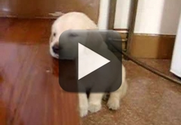 Vídeo: Filhotinho de Golden Retriever caindo de sono
