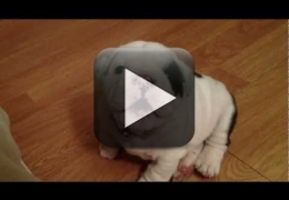 Vídeo: Cuidado, filhote de Bulldog muito bravo