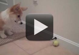 Vídeo: Filhote de Corgi e seu brinquedo favorito