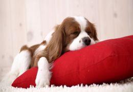 Saiba mais sobre a Imunoterapia para cães