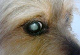 Catarata em cães
