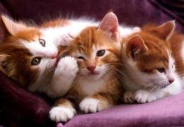 Dicas para remover os pelos de gatos