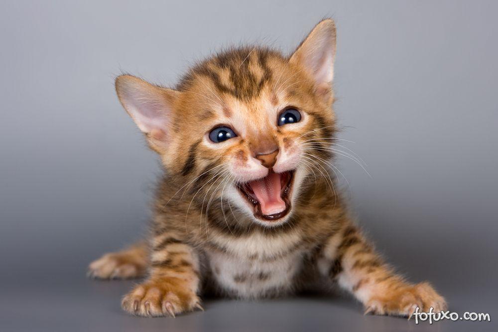 Saiba quando os gatos aprendem a ronronar