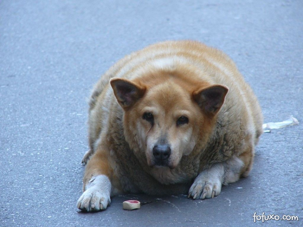 Dicas para lidar com a obesidade de cães depois da castração