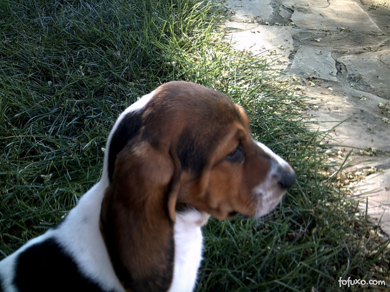 Hepatite Contagiosa Canina