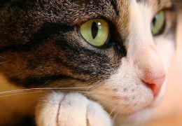 Os cinco maiores mitos sobre gatos