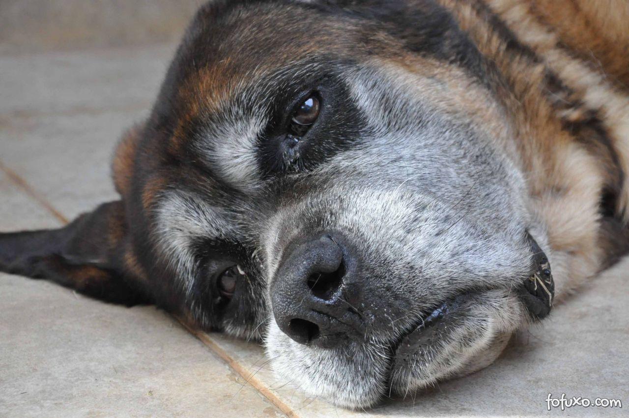 As principais doenças dos cães idosos