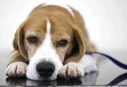 Saiba mais sobre sangue na urina do seu cão