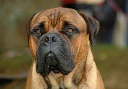 Como tratar a diarreia em cães