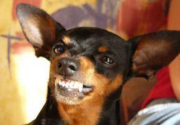 Saiba o que fazer quando o seu cachorro late para as visitas
