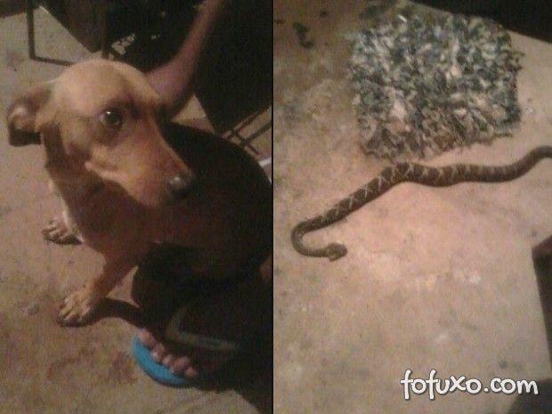 Cachorro salva dono e é picado por cobra