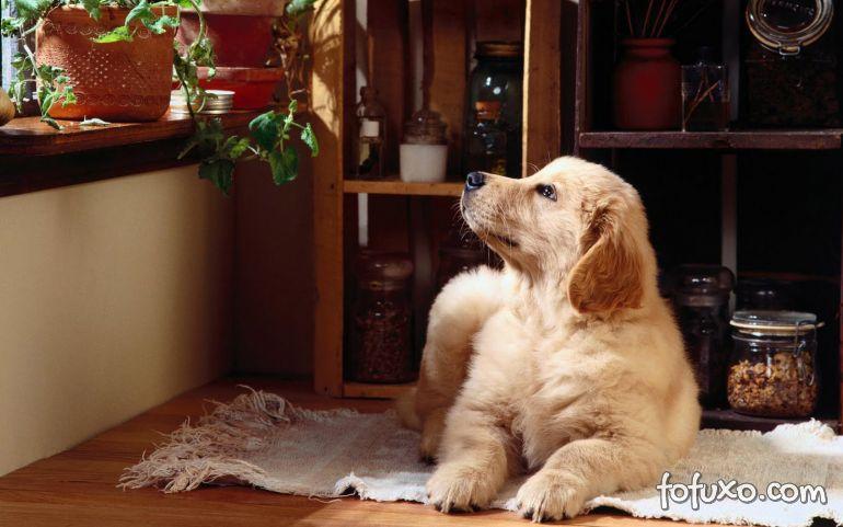 Saiba os possíveis problemas com perfume para cães