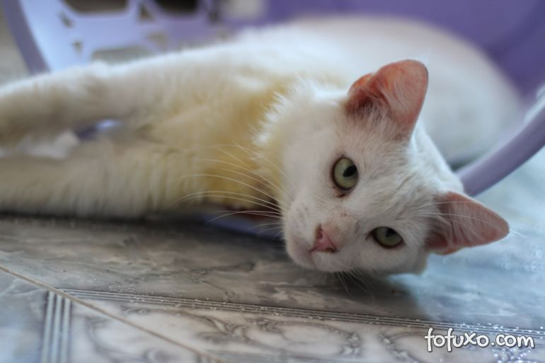 Confira alguns mitos sobre o comportamento dos gatos