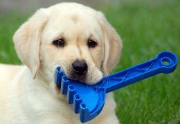 Dicas para ensinar os cães a carregarem objetos