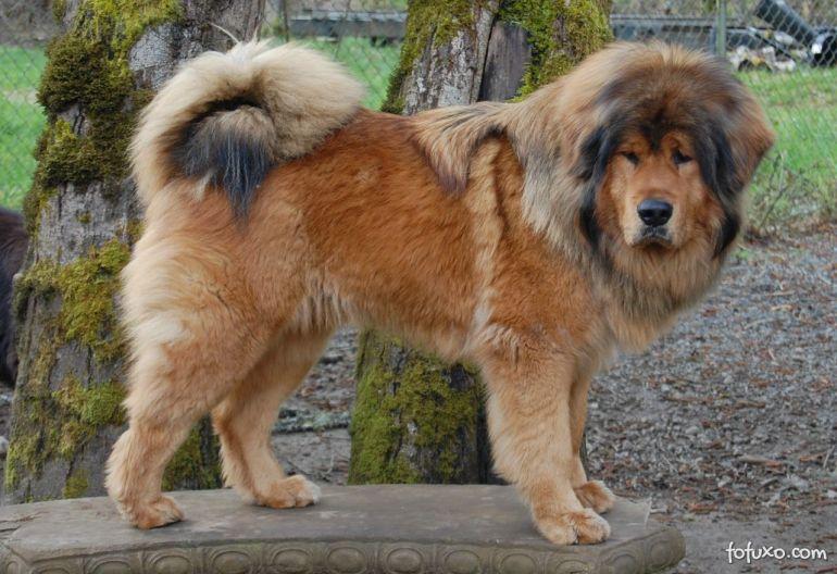 Conheça as raças de cães mais caras do mundo