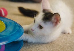 Dicas de brinquedos para seu gato