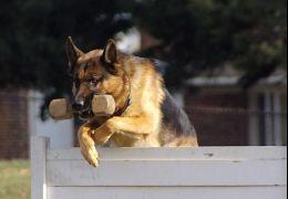 Schutzhund: Saiba mais sobre esta atividade canina