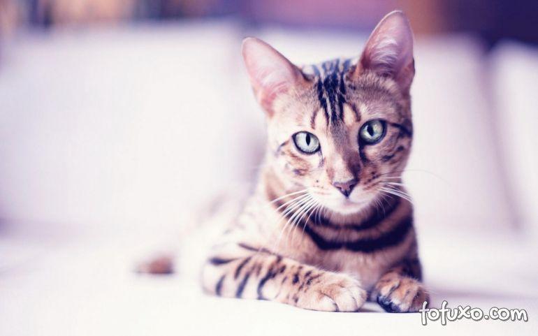 Hipertireoidismo felino