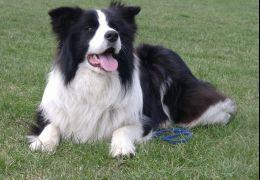 Conheça algumas raças de cães de pastoreio
