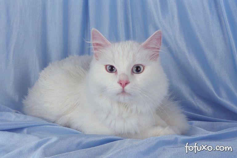 Procura gatos dóceis? Então confira algumas raças que se encaixam neste perfil