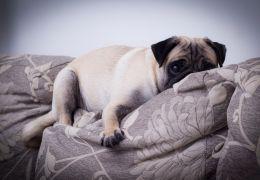 Dicas para tirar cheiro de cachorro do sofá