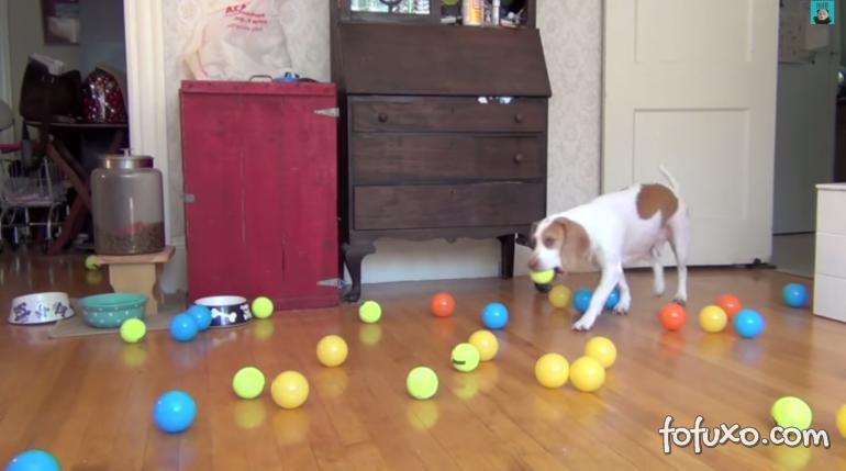 Beagle se diverte com muitas bolinhas de plástico