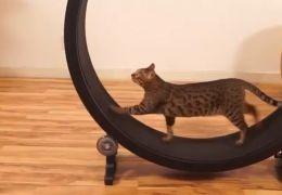 Roda de exercícios incentiva gatos a gastarem energia