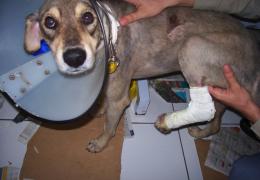 Donos devem ter cuidados com fraturas em cães pequenos