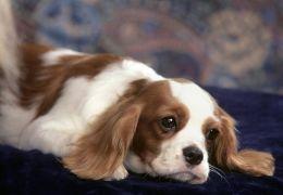 Donos devem ter cuidados com inflamações no ouvido de cães