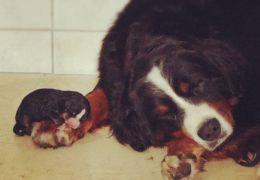 Saiba mais sobre a inseminação artificial em cães