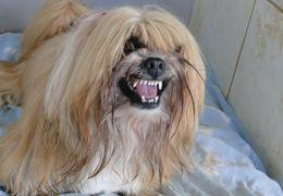Cães pequenos e nervosos podem ser controlados