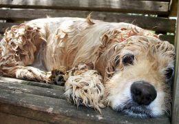 Confira os prós e contras do banho seco para cães