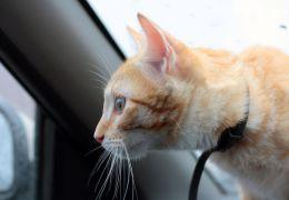 Dicas para quem quer viajar de carro com o seu gato