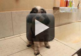 Conheça a história do cachorro que vai sozinho ao pet shop tomar banho