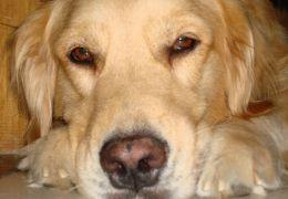 Confira os sinais de demência em cães idosos