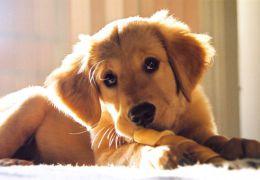 Estudo afirma que cães entendem palavras ditas