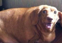 Cão obeso perde 20 kg em um único ano