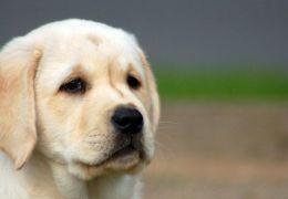 Os principais sintomas das doenças de fígado em cães