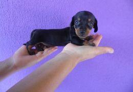 Cachorros pequenos podem comer carne?