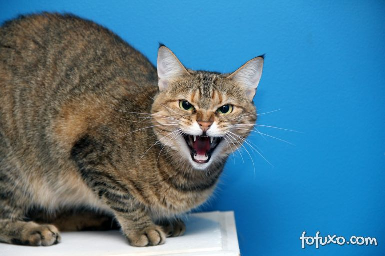 Dicas para acalmar um gato agressivo