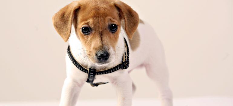 Entenda o que é a Hipoglicemia em filhotes de cachorro