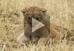 Fofura do dia: Filhote de leão tentando rugir