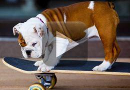 Este cachorro só levanta da cama para andar de skate!
