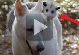 Imagens mostra cachorro que adotou um gambá